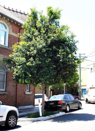 healthy tree in Marrickville