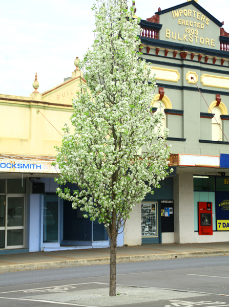 Chanticleer tree