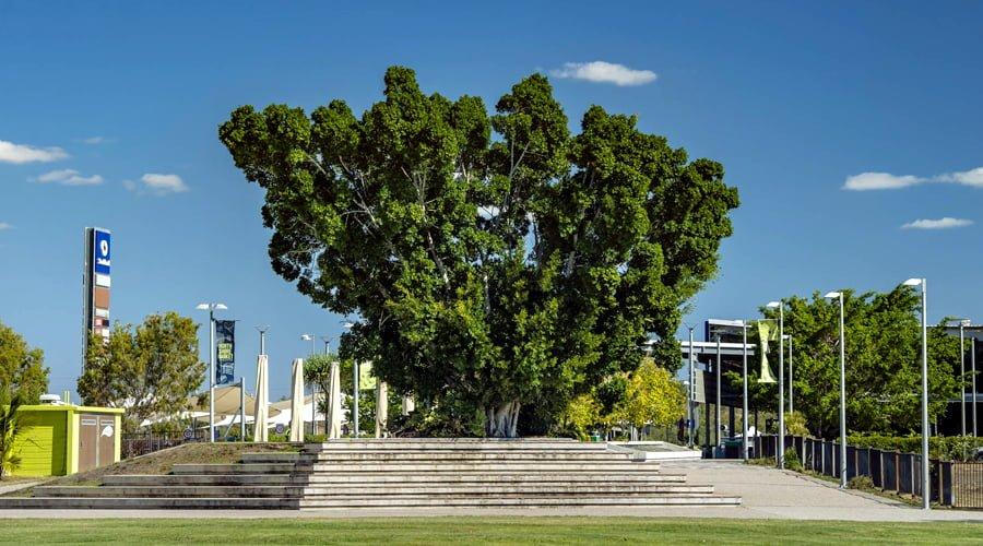 Ficus benjamina - Burdell Town Square