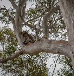Koala's city life